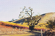 California Vineyard Series Oaks In The Vineyard Fine Art Print by Artist and Photographer Laura Wrede