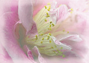 Camellia Paintings - Camellia in Pink by Angela A Stanton