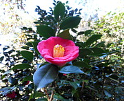 Camellia Photos - Camellia by Kay Gilley