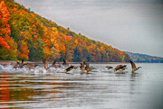 Finger Lakes Photo Originals - Canada Geese in Fall by Steve Clough