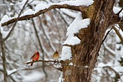 Cardinals In Snow Prints - Cardinal Couple Print by Dan Ferrin