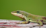Maria Urso - Artist and Photographer - Carolina Anole Lizard