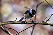 Barry Jones - Carolina Chickadee