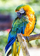 Catalina Prints - Catalina Macaw Print by Bill Tiepelman