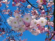 Cherry Blossoms Photo Originals - Cherry Blossoms by Linda Hollins