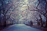 Cherry Blossoms Posters - Cherry Blossoms - Spring - Central Park Poster by Vivienne Gucwa
