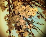 Cherry Blossoms Digital Art Metal Prints - Cherry Lomo Metal Print by Marcie Adams Eastmans Studio Photography
