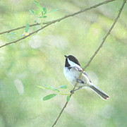 Tree Limbs Posters - Chickadee Poster by Angie Vogel