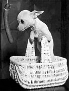 Hot Dogs Art - Chihuahua Longs For Sausage by Underwood Archives