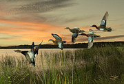 Ducks Digital Art Posters - Cinnamon Teal Ducks at Dusk Poster by Schwartz