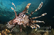 Fish Swimming Prints - Close-up Of View Of A Lionfish, Raja Print by Steve Jones