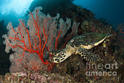 Whips Prints - Close-up View Of A Hawksbill Sea Turtle Print by Steve Jones