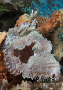 Arborek Island Framed Prints - Close-up View Of A Tassled Scorpionfish Framed Print by Steve Jones