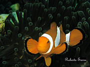 Sea Life Pyrography Prints - Clown Fish Print by Roberta Sassu