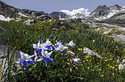 Jagged Prints - Colorado Columbines Print by Aaron Spong