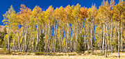 Autumn Landscape Art - Colorful Aspen Panorama by James Bo Insogna