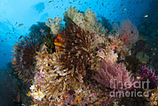 Whips Framed Prints - Colorful Crinoids And Soft Corals Adorn Framed Print by Steve Jones