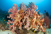 Whips Prints - Colorful Soft Corals Adorn A Reef Print by Steve Jones