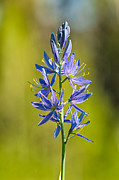 Monocot Prints - Common Camas Print by Rich Leighton