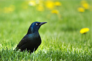 Blackbirds Posters - Common Grackle Poster by Christina Rollo