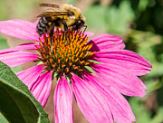 Featured Art - Coneflower and Bumblebee 2 by Douglas Barnett