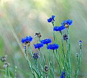 Cornflower Prints - Cornflowers Print by Louise Heusinkveld