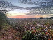 Florida Panhandle Photo Posters - Cotton Sunrise  Poster by JC Findley