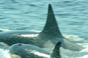 Juan De Fuca Posters - Cow Orca And Her Calf Poster by Jeff  Swan