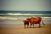 Sun Pyrography Framed Prints - Cows On Sea Coast Framed Print by Raimond Klavins
