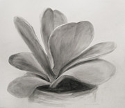 Potted Drawings Metal Prints - Crassula  Metal Print by Steve Dininno