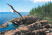 Seagull Drawings Originals - Crusing Otter Point by Brent Ander