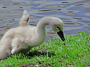 Lilroseann Photography Prints - Cute Cygnet Print by LilRoseann Photography