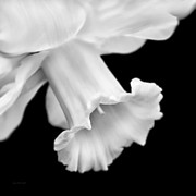 Jennie Marie Schell - Daffodil Flower Macro Black and White