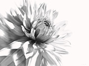 Jennie Marie Schell - Dahlia Flower in Monochrome