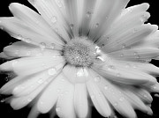 Jennie Marie Schell - Daisy Dream Raindrops Monochrome