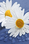 White Flower Photos - Daisy flowers with water drops by Elena Elisseeva