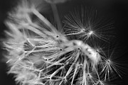 Jennie Marie Schell - Dandelion Fly Away Black and White