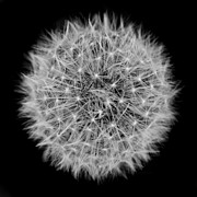 Jennie Marie Schell - Dandelion Macro Abstract Black White
