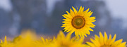 Asteraceae Prints - Dawn Light on Sunflower  Print by Tim Gainey