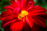 Daniel Posters - Deep Red Dahlia with Yellow Center Poster by  Onyonet  Photo Studios