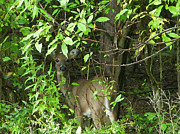 Aimee L Maher - Deer In The Bushes