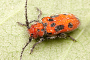 Beetle Photos - Dewy Milkweed Beetle by Clarence Holmes