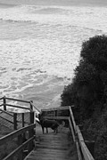 Kelpie Photo Posters - Dog on sea stairs Poster by Amanda Lee Tzafrir
