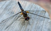 Macro Dragonfly Picture Posters - Dragonfly   Stopped to Say Hello  Poster by Peggy  Franz