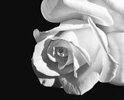 Jennie Marie Schell - Dramatic Rose Flower Black and White
