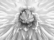 Jennie Marie Schell - Dramatic White Dahlia Flower Monochrome