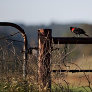 Rural Photos - Eary Morning Blackbird by Art Block Collections