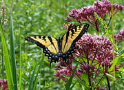 Neal Eslinger Photography Framed Prints - Eastern Tiger Swallowtail on Joe Pye Weed Framed Print by Neal  Eslinger