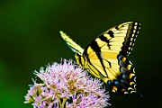 Regina  Williams  - Eastern Tiger Swallowtail