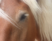 Forelock Photos - Eye Of A Belgian Horse by Smilin Eyes  Treasures
